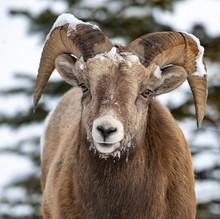 Bighorn Sheep In Jasper Canada
