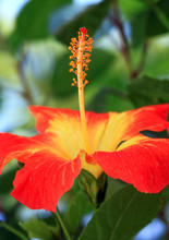 Red Tropical Hibiscus Flower In Bloom Blurred