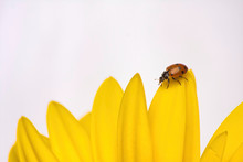 Red And Black Spotted Ladybug Walking Across Apetal Of A Yellow Gerbera Daisy.