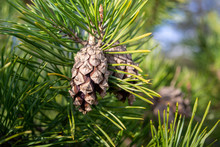 Two Pine Cones On A Green Pine Branch