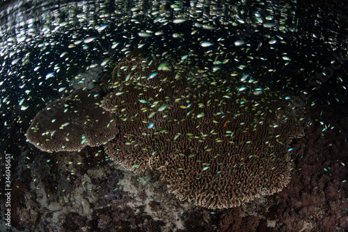 Tiny damselfish swarm above a shallow coral reef in Indonesia as they feed on planktonic organisms Wallpaper Mural