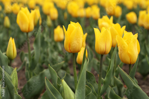 Photo Flowerbed of yellow tulips in the park. Closeup
