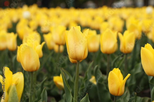 Flowerbed of yellow tulips in the park. Closeup Canvas Print