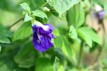 Butterfly Pea In The Garden. H...
