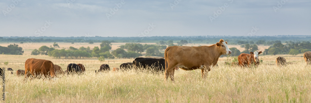 Fototapeta Cow and calf pairs grazing on pasture land before calves are weaned