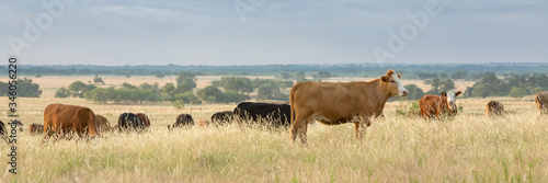 Cow and calf pairs grazing on pasture land before calves are weaned Canvas Print