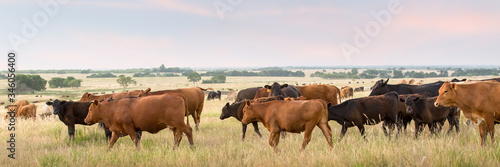 Photo Cow and calf pairs grazing in pasture