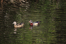 Male And Female Pair Of Wood D...