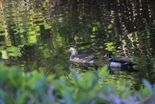 Wood Ducks - Male And Female P...