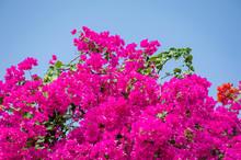 Pink Bougainvilleas In Summer ...
