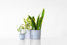 Three Houseplants In Pots Isolated Against A White Background With Copy Space. Plants Include A Sansevieria, Peperomia And A Succulent.
