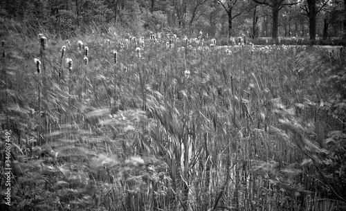 windswept tall grass meadow Fototapeta