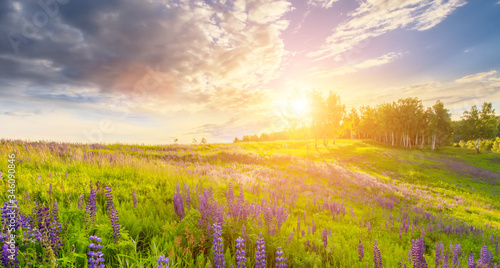 Obraz Sunset or sunrise on a hill covered with lupines in summer or early spring season with cloudy sky background. Landscape. - fototapety do salonu