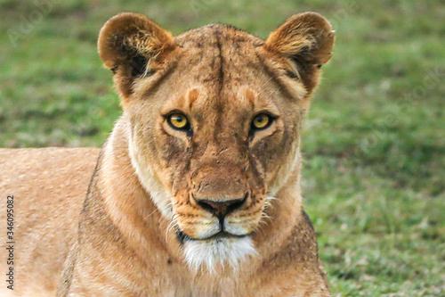 Obraz na płótnie The lioness resting, lying on the grass