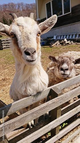 Foto ヤギと羊 goat & sheep