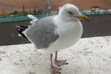 An Adult Herring Gull On A Window Ledge