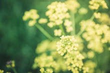 Blooming Mustard Plant On The ...