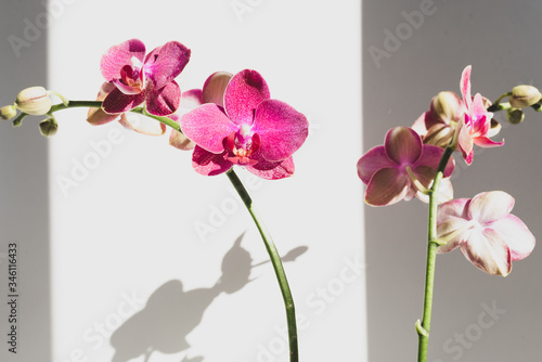 Leinwand Poster Close up of bright pink phalaenopsis orchid against white background with unusua