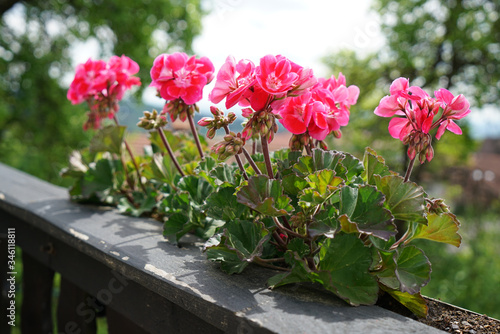 Photo Geraniums and petunias are easy-care plants and are particularly suitable as pot
