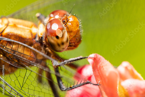 Closeup of a Dragonfly, scientific name is Anisoptera Canvas Print