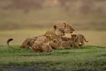 Two Lionesses Lie With Cubs Looking Right