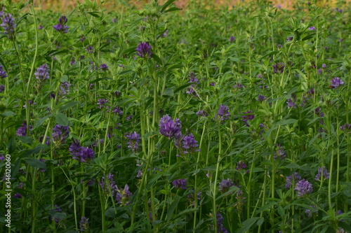 Medicago sativa, alfalfa, lucerne in bloom - close up Wallpaper Mural