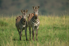 Two Plains Zebra Stand In Long...