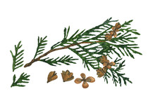 Watercolor Cypress Or Thuja Branch With Cones Isolated On White Background. Hand Drawing Illustration Of Evergreen Tree Twig. Perfect For Medical, Health Care Design, Print. Clip Art.