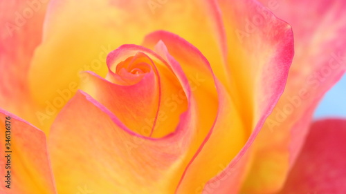 close up of pink and orange rose