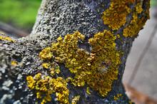 A Closeup Of A Tree Lichen Enl...