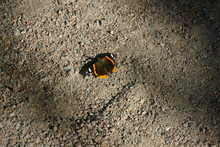 Red Admiral Butterfly Sits On The Ground