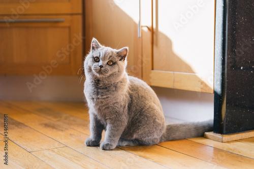 Boo the British Blue Shorthair Kitten Playing in the House Tapéta, Fotótapéta