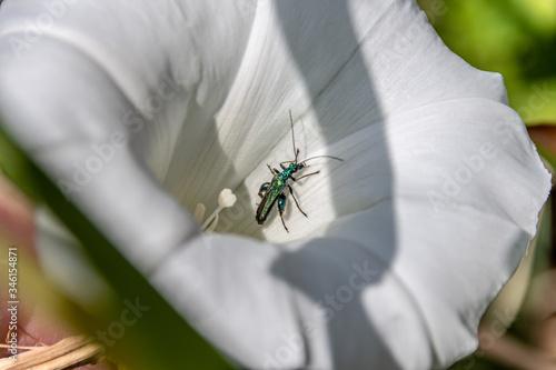 Photo Insecte dans une fleur blanche Insect in a flower