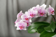 A blooming white pink orchid of genus phalaenopsis, variety Rotterdam. Home and garden flowers