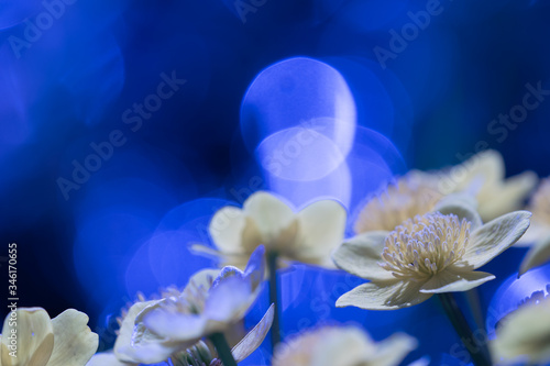 Fotografia, Obraz Close up of pale yellow marsh marigold flower with large bokeh circles in the bl