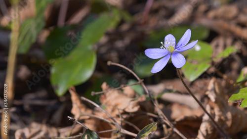 Fotografia Violetta in primo piano nel bosco in aprile