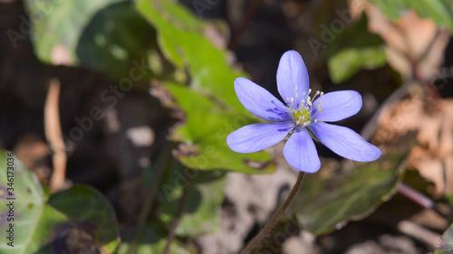 Stampa su Tela Violetta in primo piano nel bosco in aprile