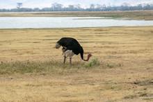 タンザニア・ンゴロンゴロの草原に佇む雄のダチョウ