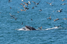 Humpback Whale (Megaptera Novaeangliae) Feeding With A Mouthful Of Fish While A Flock Of Brown Pelicans Fly Overhead In Baja California, Mexico.