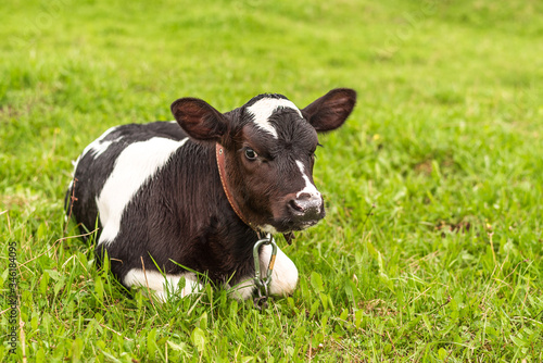 Foto The calf is lying on the grass and grazing in a green meadow