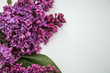Beautiful lilac on a white background