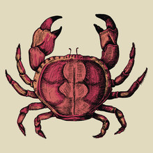 Hand Drawn Crab Isolated