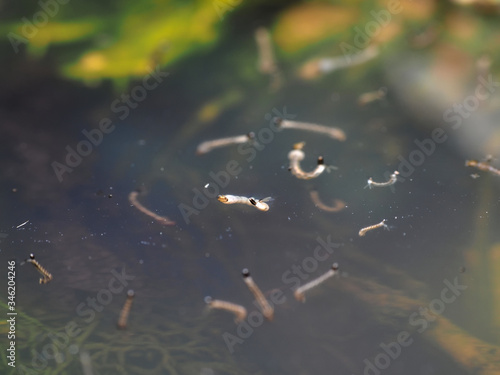 Macro of Aedes mosquito larvae in stagnant water Fototapeta