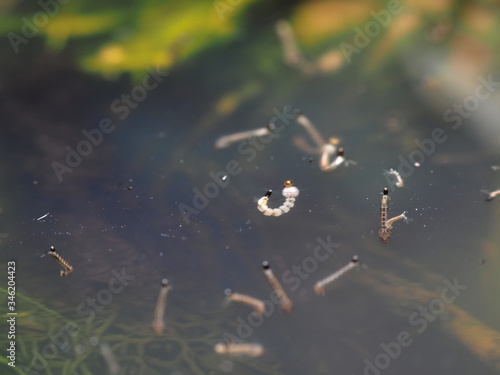 Fotografie, Tablou Macro of Aedes mosquito larvae in stagnant water