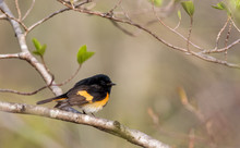 American Redstart (Setophaga Ruticilla) Is An Orange And Black Warbler And Perched On A Branch On A Sunny Spring Morning