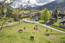 Donkeys Grazing In The Fields In The Pretty French Alpine Village Of Les Contamines-Montjoie