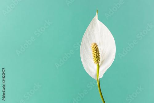 Fototapeta Spathiphyllum home plant.Close-up petal of white flower .Concept of home gardening. obraz