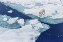 Polar Bear  Walking On Iceberg...