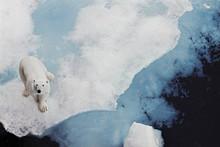 Polar Bear Looking Up At Camer...