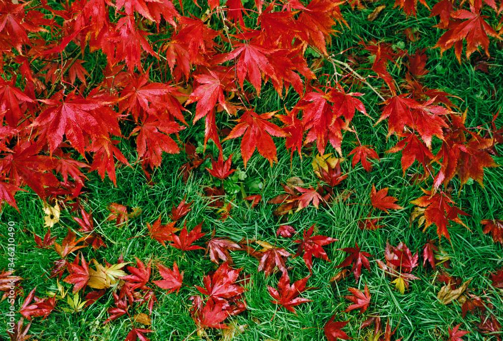Fallen leaves of the Acer palmatum O Sakazuki Autumn Colour in a woodland garden